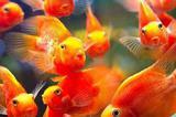 Попугай красный цихлида 10см в наличии
